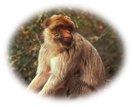 Barbary Macaque Wolke