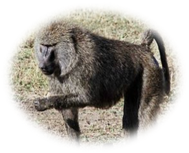 Olive Baboon Wolke